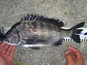 2005年7月18日黒鯛35センチ